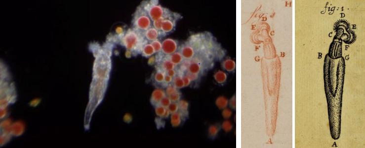 Foro van een raderdiertje gezien door een originele Van Leeuwenhoek-microscoop. Daarnaast twee tekeningen van een raderdiertje.