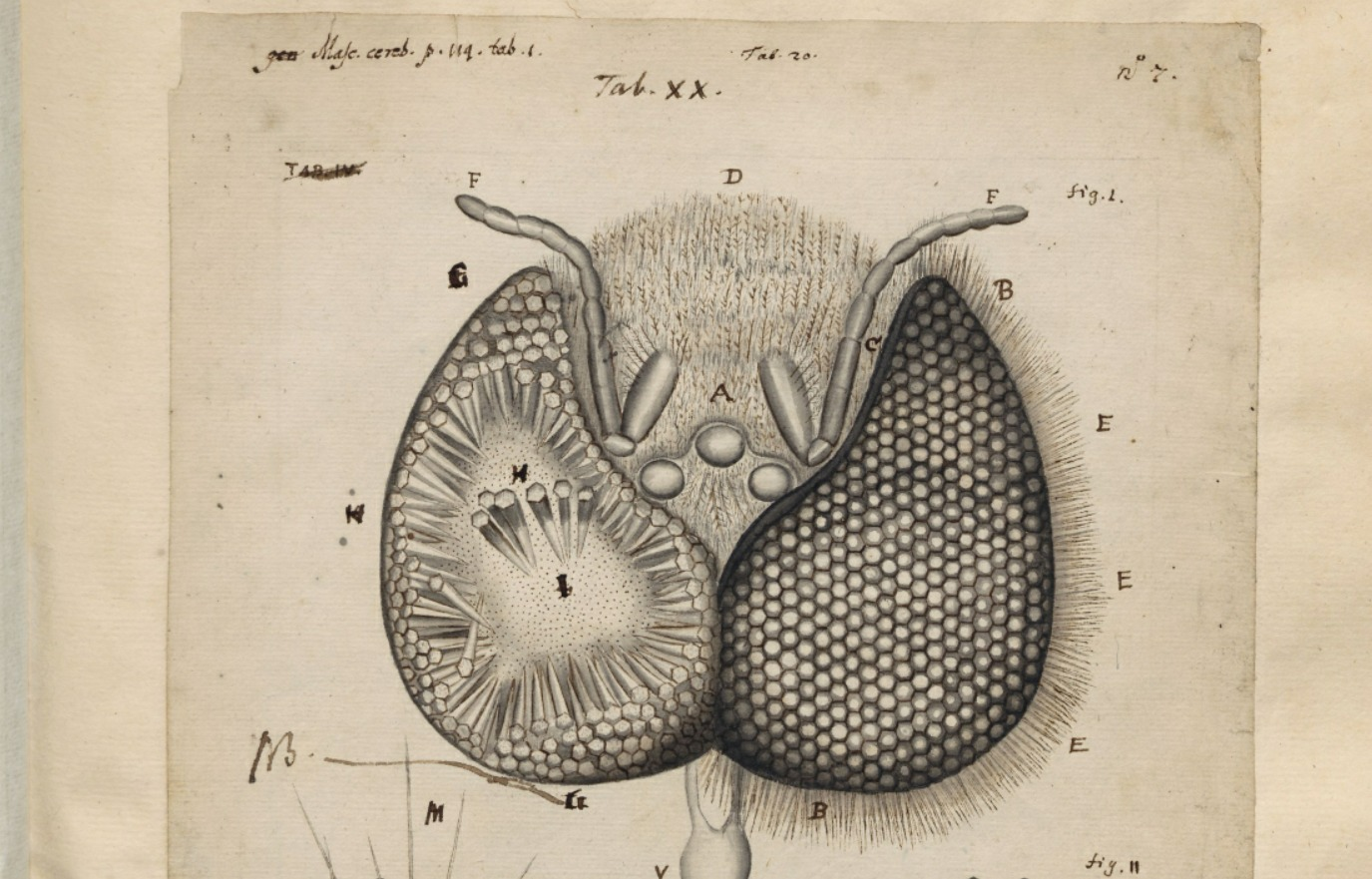 Illustratie van een wespenkop, zoals gezien door een microscoop in de zeventiende eeuw.